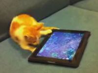 Kitten Confused by iPad with Virtual Fish in It