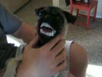 Meet the Vampire Pug