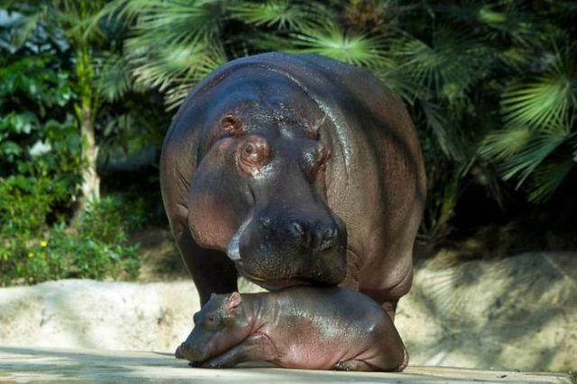Cute Baby Hippo