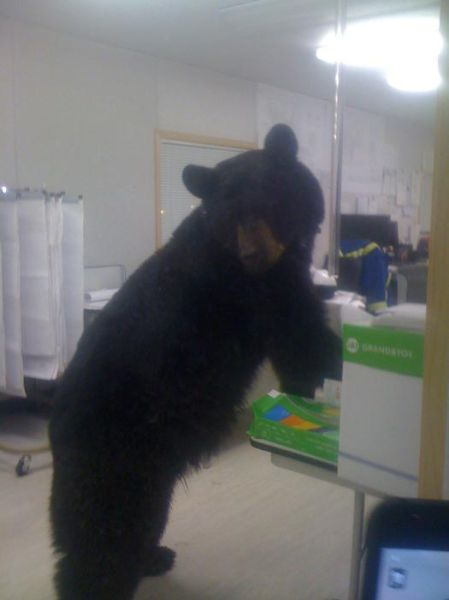 Bearly Acceptable Work Environment