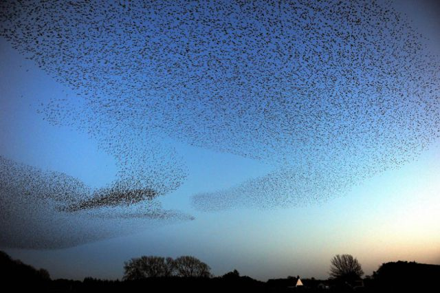 Starlings Dancing in the Skies of Scotland