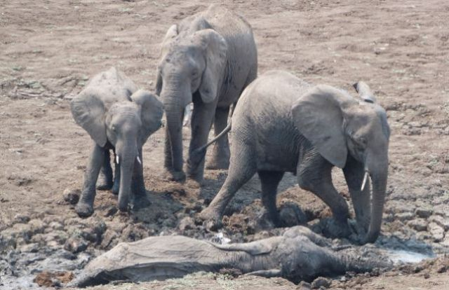 The Dramatic Rescue of Elephants from a Muddy Grave