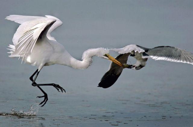 Mid-Air Acrobatics to Steal a Shrimp