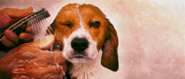 Incredible Beagle's Image