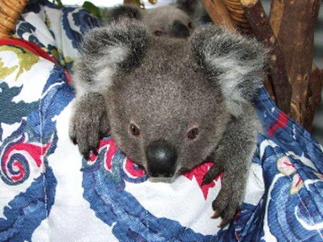 The Amazing Story of Little Koala Bear Twins