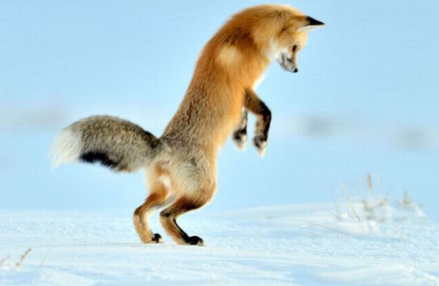 Fox Hunts Mouse In Unique Way