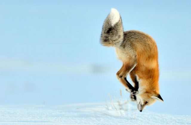 Fox Hunts Mouse In Unique Way