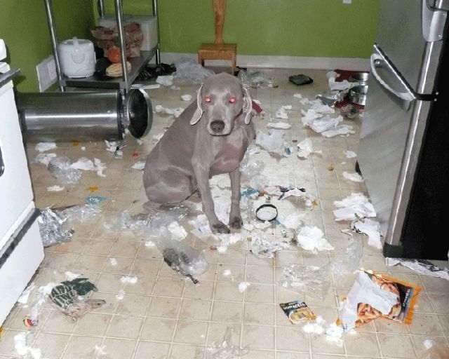 Dog Trashes House