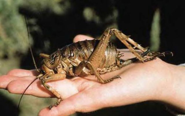 New Zealand's Monster Bugs