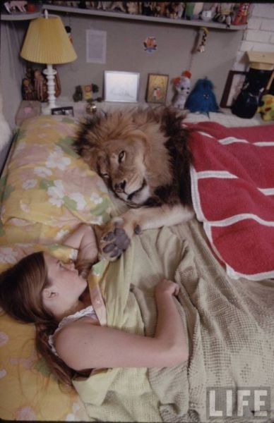Having a Lion as a Pet