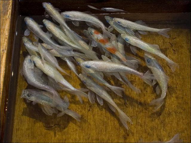 """Goldfish Salvation"""