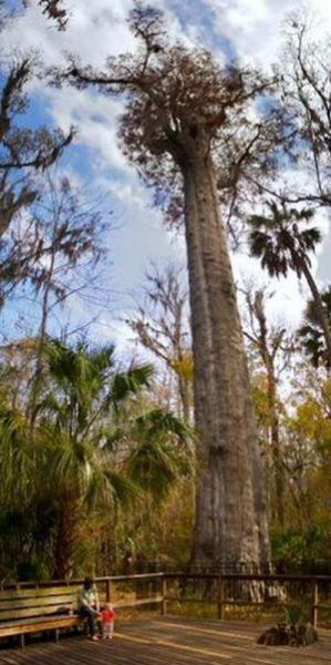 One of the Oldest Trees in the World Is Gone
