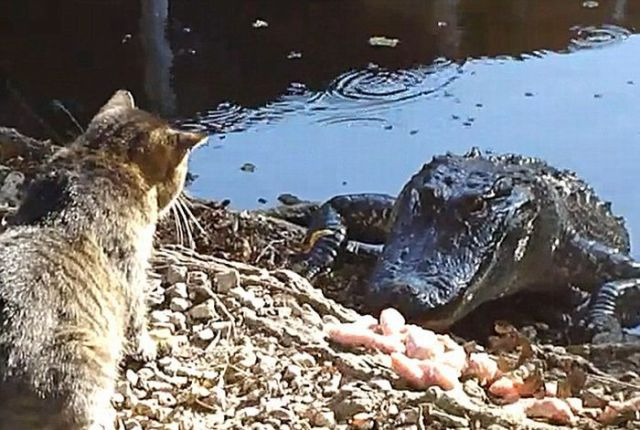 Cat and Alligator Fight for Chicken