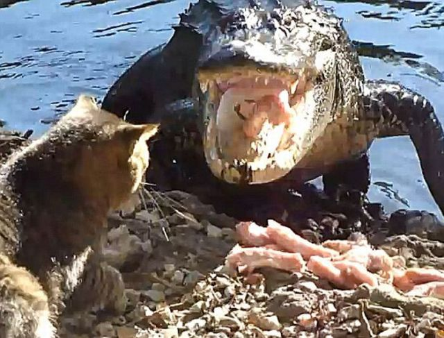 Bravest Chicken Ever: Cat And Alligator Fight For Chicken (4 Pics + 1 Video
