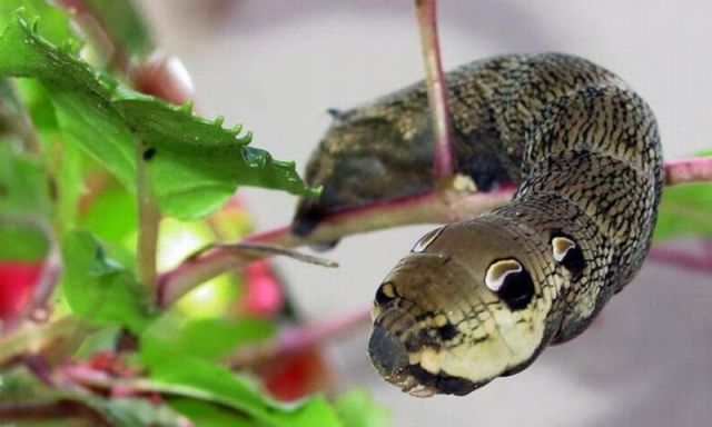 Caterpillar Mimicking a Snake