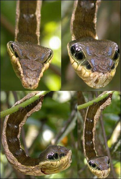 Caterpillar Mimicking a Snake