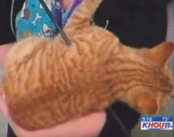 "Ginger Cat ""Cupid"""