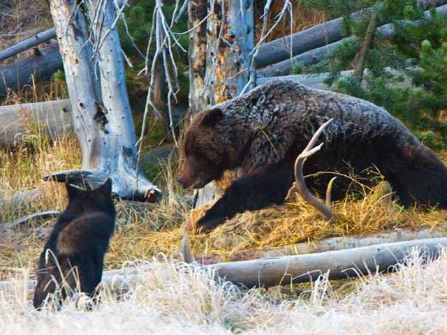 Violent Fight between Grizzly Bear and Wolf