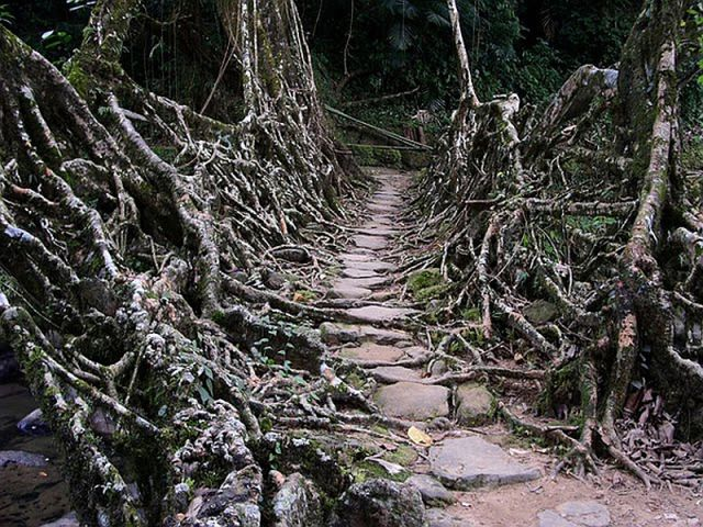 Incredible Tangled Root Bridges
