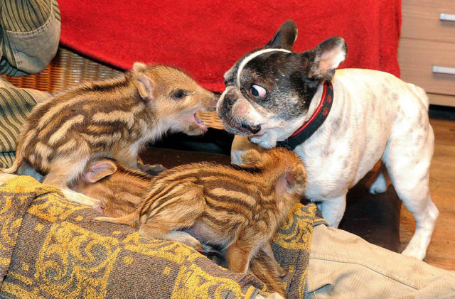 French Bulldog Meeting New Family Members