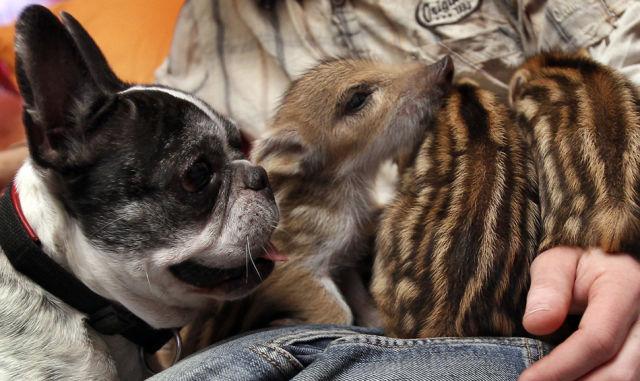 French Bulldog Meeting New Family Members