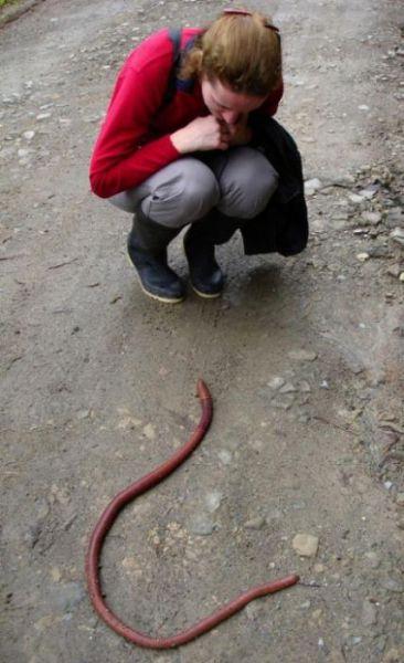 Australian Giant Earthworm