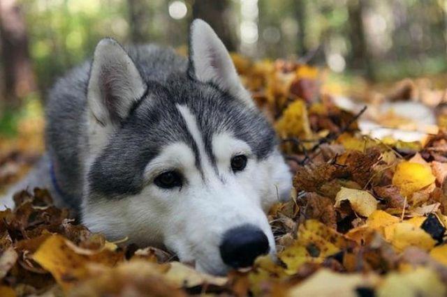 We All Love Husky Dogs