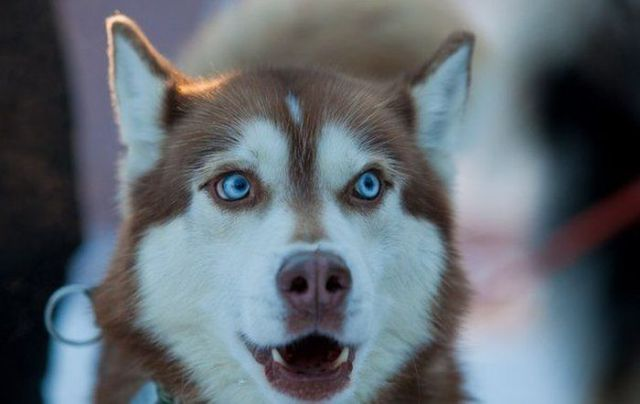 We All Love Husky Dogs