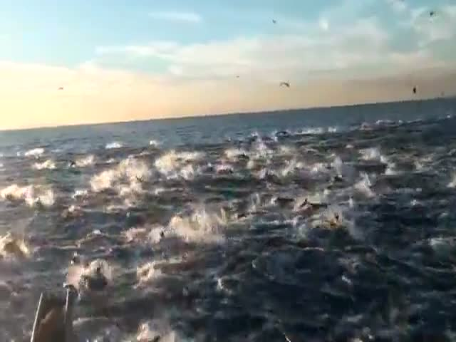 Awesomely Beautiful Dolphin Stampede