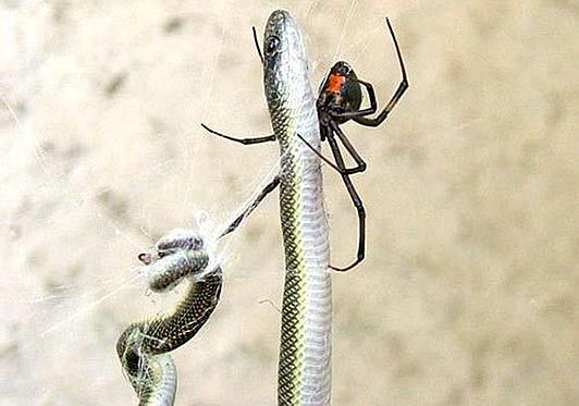 South African Spider Catches and Eats the Snake