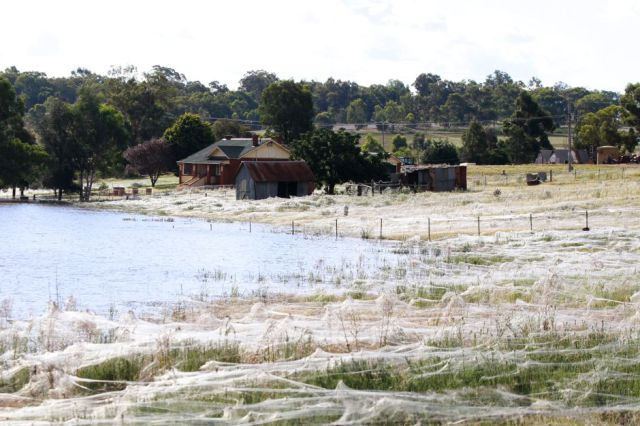Spider Invasion in Australia