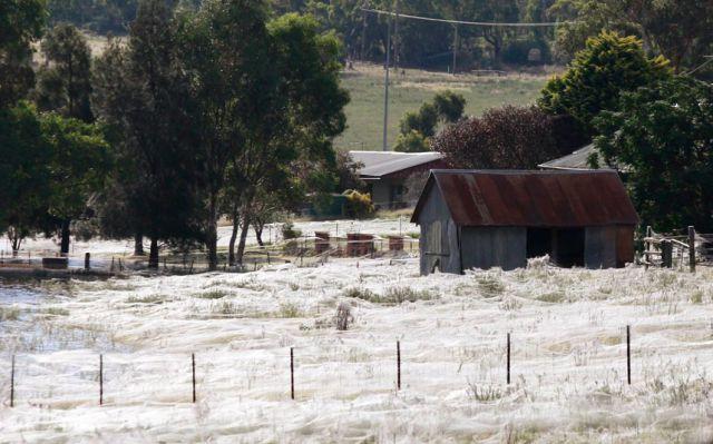 Spider Invasion in Australia