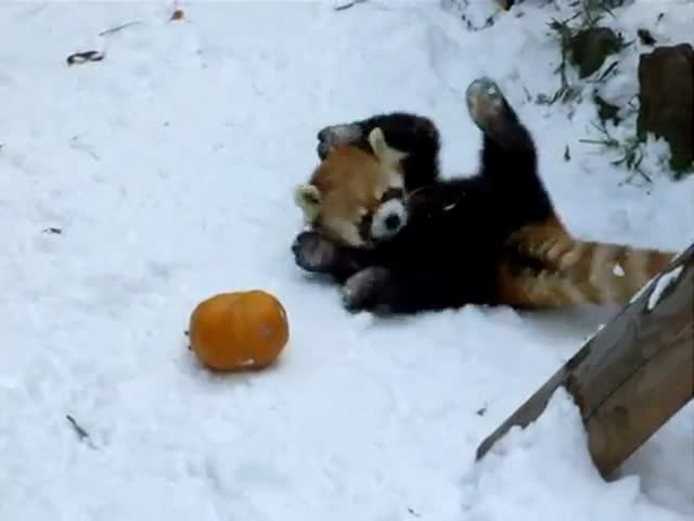 Red Panda Wrestles with a Pumpkin