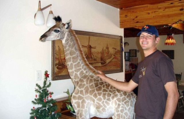 Pet Giraffe from South Africa
