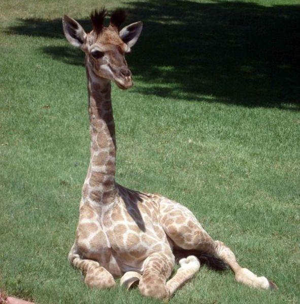 Pet Giraffe from South Africa