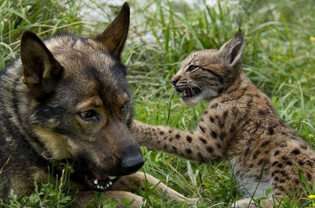 Dog Adopts Three Lynx Cubs