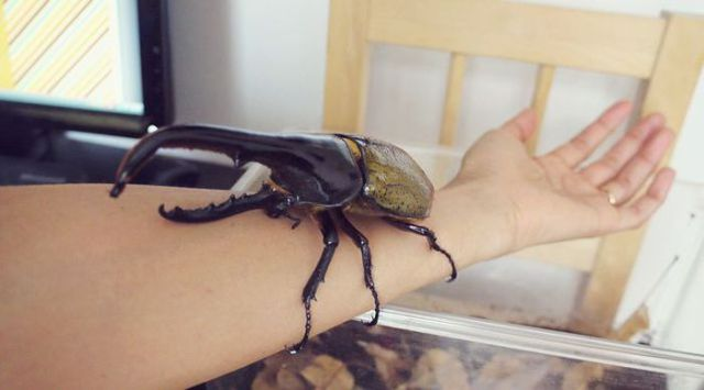The Life of a Hercules Beetle in Pictures