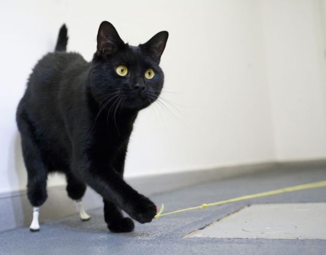 Cat Uses Prostheses to Walk