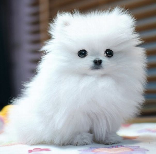 fluffy miniature dogs - photo #5