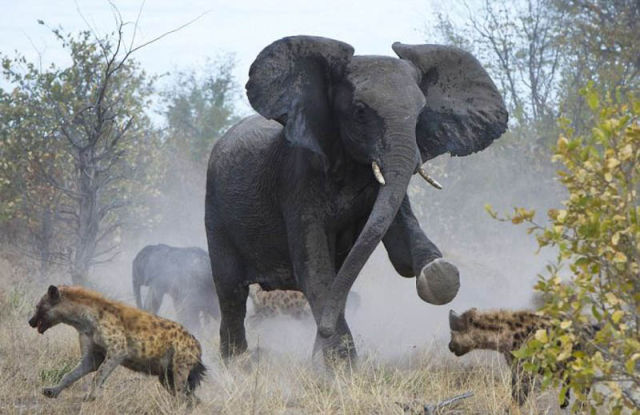 Elephant Fights a Pack of Hyenas