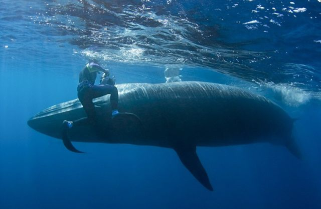 Diver Narrowly Avoids a Collision with a Giant Whale