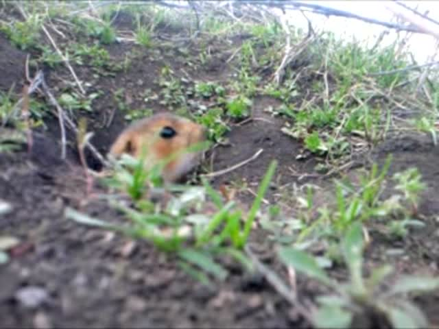 Curious Gopher Steals Cell Phone