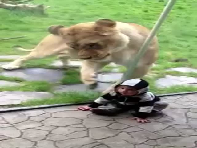 Lion Wants to Eat That Zebra Stripped Baby So Bad!