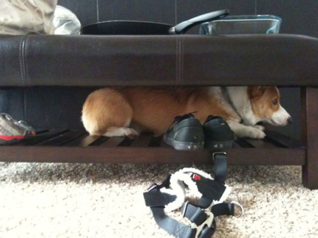 Places You'd Never Think to Find a Corgi