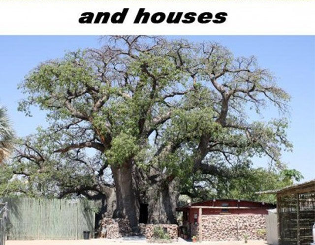 Baobab Tree Is a Wonder of Nature