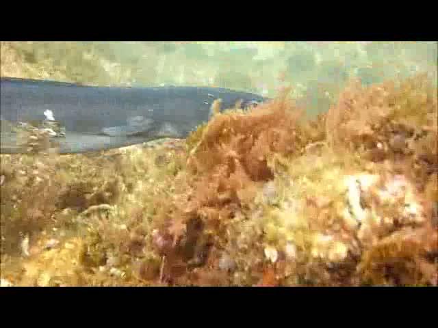 Scuba diver save a conger eel