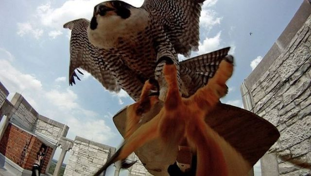 Don't Mess With Mama Falcon's Babies