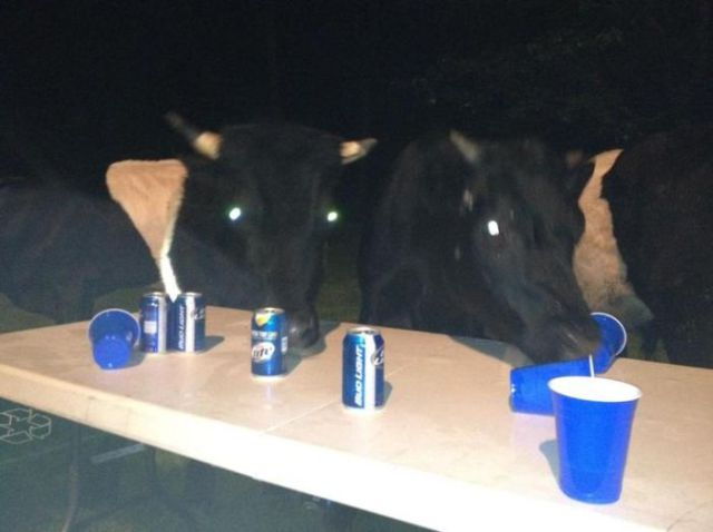 Cows Ruin Backyard Beer Bash