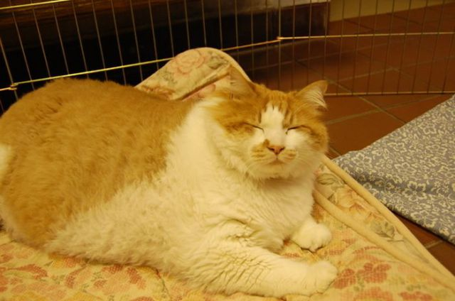 The Fattest Cat in an American Animal Shelter