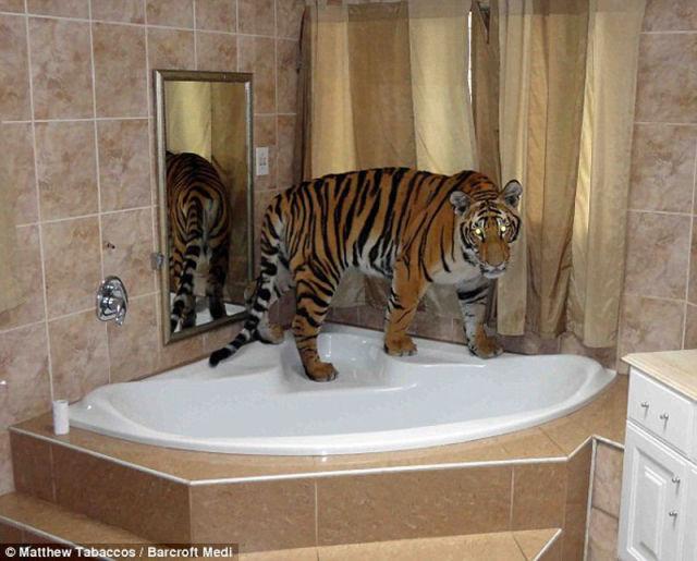 Meet A Pet Tiger From South Africa
